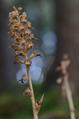Neottia nidus-avis Ringsaker 01.png