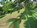Nephelium lappaceum (Rambutan) tree in RDA, Bogra 03.jpg