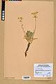 Neuchâtel Herbarium - Aurinia saxatilis - NEU000022631.jpg