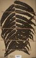 Neuchatel Herbarium Types NEU000113033.tif