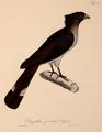 Neue Wirbelthiere zu der Fauna von Abyssinien gehörig (1835) Crinifer zonurus.png
