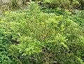 New Zealand, Great Walk Lake Waikaremoana (12) - Clianthus maximus.JPG