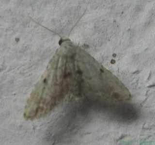 <i>Araeopteron</i> Genus of moths