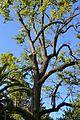 Noguera blanca d'Amèrica (Carya illinoinensis), jardí botànic de València.JPG