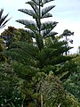 Norfolk Island Pine, Abbey Gardens, Tresco - geograph.org.uk - 1606645.jpg
