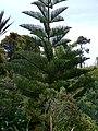 Norfolk Island Pine, Abbey Gardens, Tresco - geograph.org.uk - 1606645.jpg