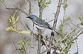 Northrn Parula (Setophaga americana) (15226309800).jpg