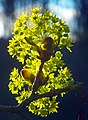 Norway maple buds in flower, closeup and backlit.jpg