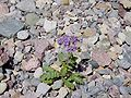 Notch-leaf phacelia in Titus Canyon.JPG