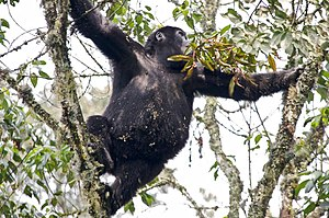 Gorilla - Young gorilla in tree