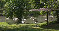 Nyíregyháza Zoo, flamingos.jpg