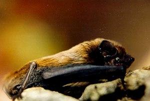 Lesser noctule - Image: Nyctalus leisleri