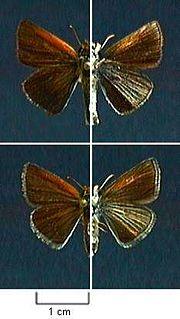 <i>Oarisma poweshiek</i> species of insect