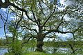 Oberhauser-Weiher-Mystischer-Baum.jpg