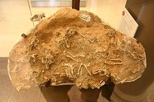 Pika - Ochotona sp. fossils