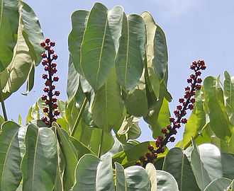 Schefflera actinophylla - Tree canopy in  Hyderabad, India.