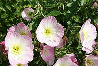 Oenothera-speciosa-flowers