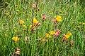 Oenothera stricta in Bay of Plenty Region 07.jpg