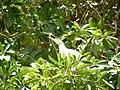 Oiseaux d'Egypte - panoramio (5).jpg