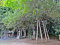 Old Holly tree of Ise-oomikami shrine Shimonomiya.JPG