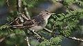 Olive-tree warbler, Hippolais olivetorum, at Mkuze Game Reserve, (39230392124).jpg