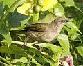 Olive-winged Bulbul (Pycnonotus plumosus) - Flickr - Lip Kee (2).jpg