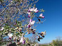 Olneya tesota in flower.jpg