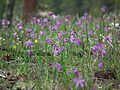 Olsynium douglasii Meeks Table 4.jpg