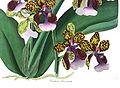Oncidium lanceanum - Paxton vol 4 (1838) page 168.jpg