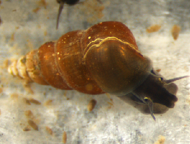 Oncomelania hupensis nosophora