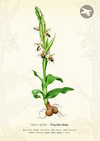 Ophrys Apifera - Rosa Marín Ribas.jpg