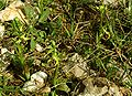 Ophrys aesculapii Griechenland 241.jpg