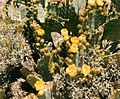 Opuntia lindheimeri bloom at the Nevada Test Site 6.jpg