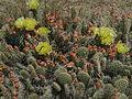 Opuntia polyacantha Upper Ruby River 01.JPG
