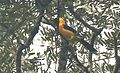 Orange-crowned Oriole m.jpg