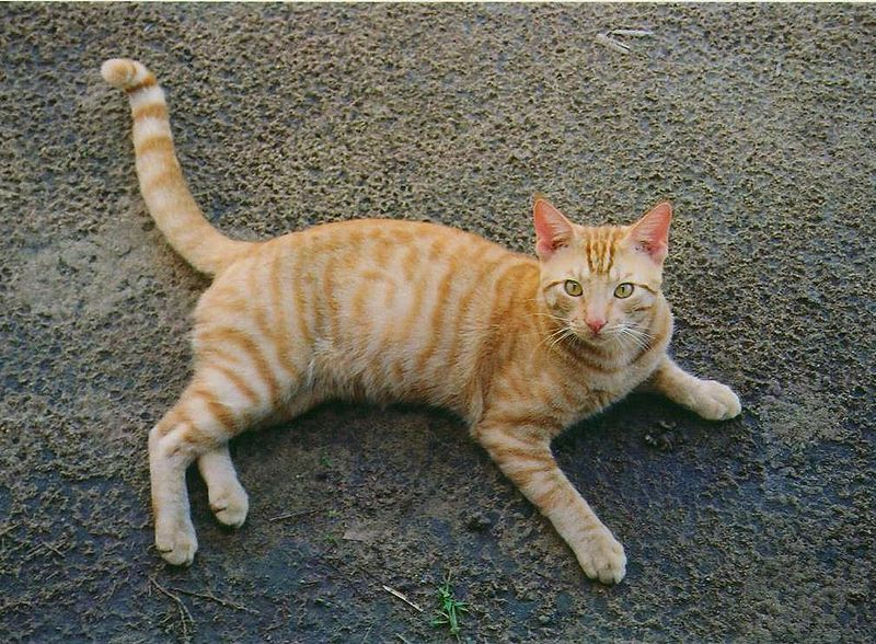 File:Orange Tabby Full Body.JPG