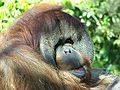 OrangutancloseupSDZoo07.jpg
