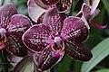 Orchid (33259875796).jpg