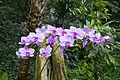Orchideje v Troji, Cattleya hybrida, 16.jpg