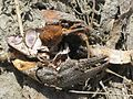 Orconectes limosus (Cambaridae sp.), Arnhem, the Netherlands - 3.jpg