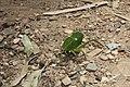 Orthoptera in Capitólio (3264).jpg