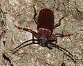 Orthosoma brunneum - Brown Prionid - (a long-horned beetle species) (48244917176).jpg
