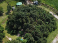 Over view the biggest mango tree in asia situated at Thakurgaon in bangladesh.png
