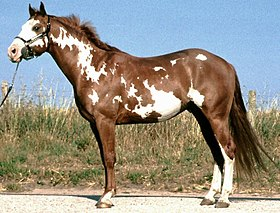 Paint horse de robe pie overo.