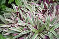 Oyster Plant (Tradescantia spathecea) Vittata Mayflower Faminly (3073341052).jpg
