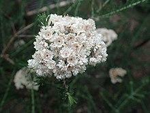 Ozothamnus diosmifolius flowers.jpg