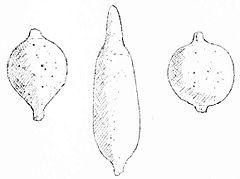 PSM V50 D511 Charm bones found at the santa clara mound.jpg