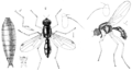 PSM V58 D259 Sepsis violacea and nemopoda minuta.png