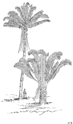 PSM V60 D413 The urucury palm attalea excelsa.png