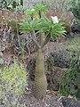 Pachypodium lamieri1MTFL.jpg